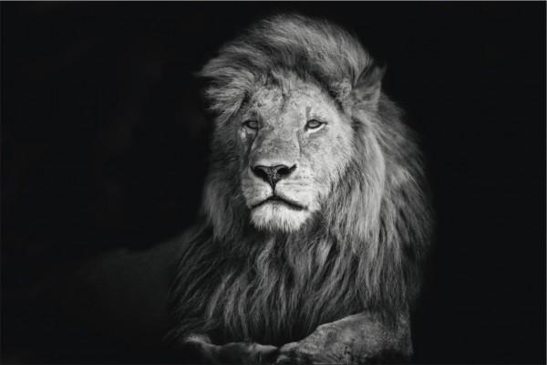 Löwe Querformat