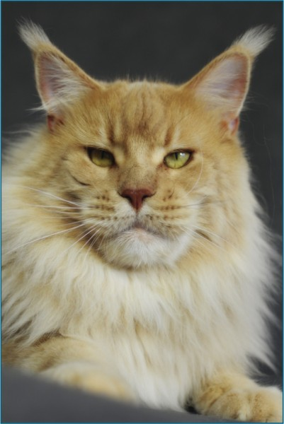 Harry Maine Coon