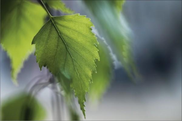 grünes Blatt 1