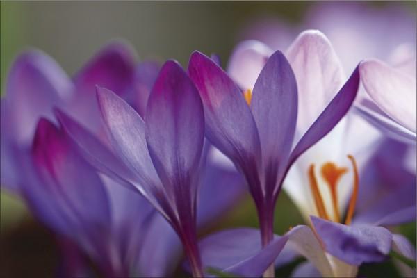 Krokus Blume 1