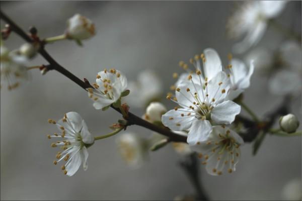 Blütenzweig 1
