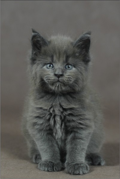 Pierre Maine Coon Baby