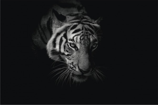 Tiger Querformat