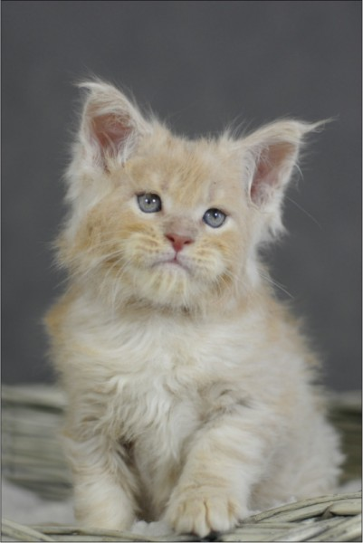 Franco Maine Coon Baby