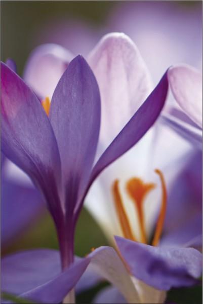 Krokus Blume 2